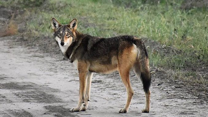 Government study: Red wolves a unique species, not coyote