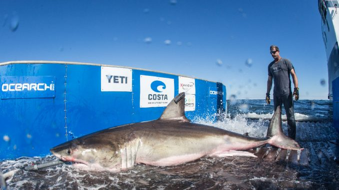 Cluster Of Great White Sharks Off The Coast Stirring Up Interest Beach 104
